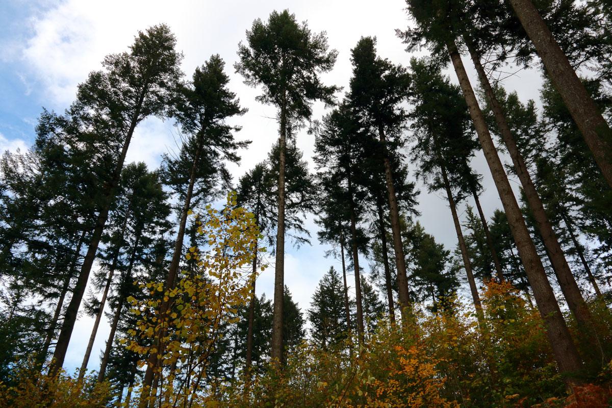 Eclaircie dans une plantation de sapins de Douglas - montagne