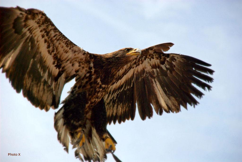 Fabuleux Aigle royal - montagne GA58