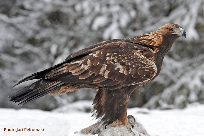 Eagles, The* Les Aigles - Les Aigles
