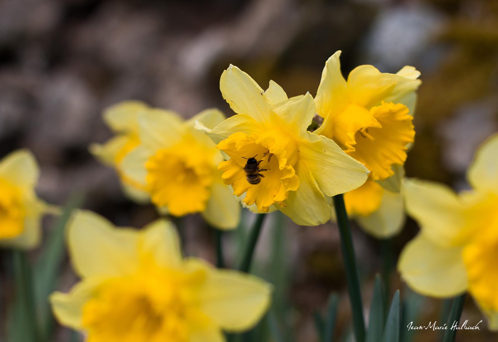 L'abeille et la jonquille