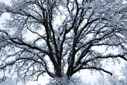 Jeu de neige sur un chêne