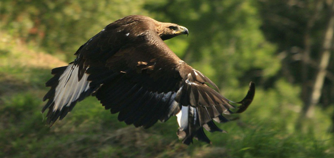 Aigle royal en montagne du Haut Languedoc. Photo de vol