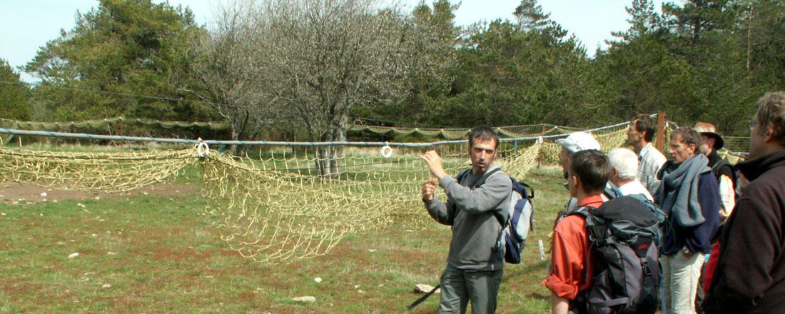 Mouflon en montagne du Haut Languedoc. Démonstration de fonctionnement de filet de capture
