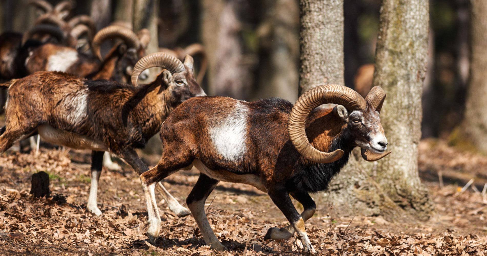Montagne du Haut Languedoc. Mouflons slider
