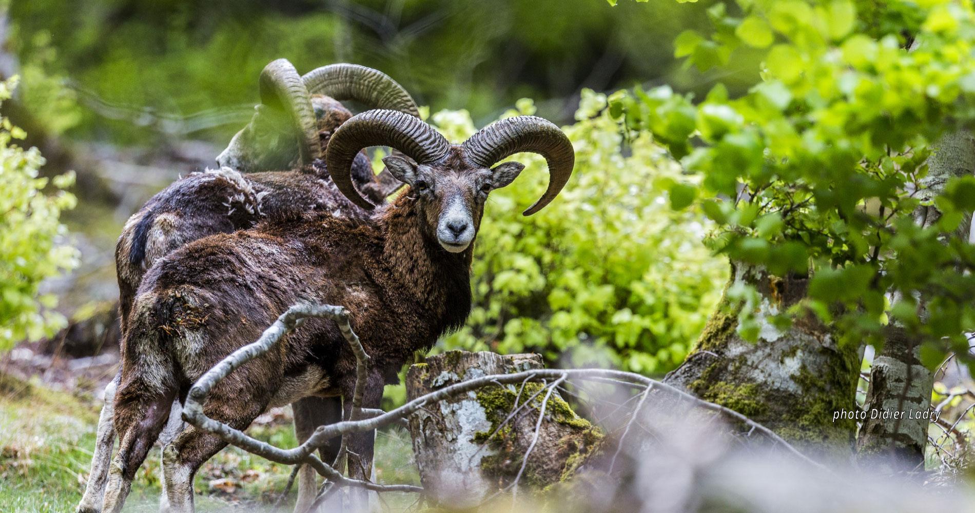 Montagne du Haut Languedoc. Accueil mouflons