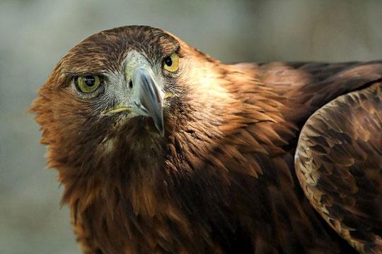 Aigle royal. Photo 2