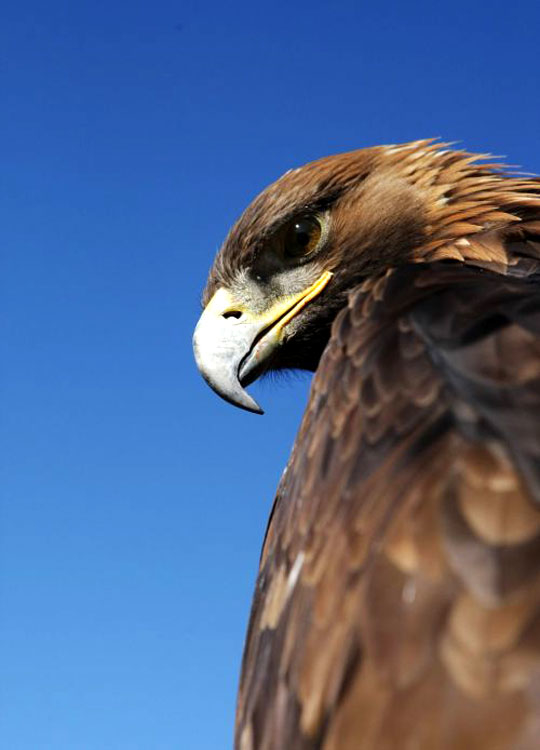Aigle royal. Photo 1