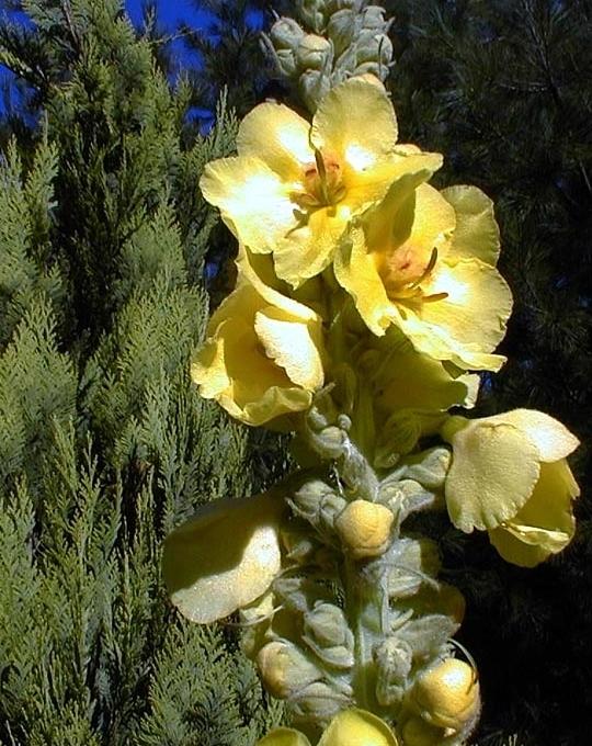 Recettes santé par les plantes. Bouillon blanc