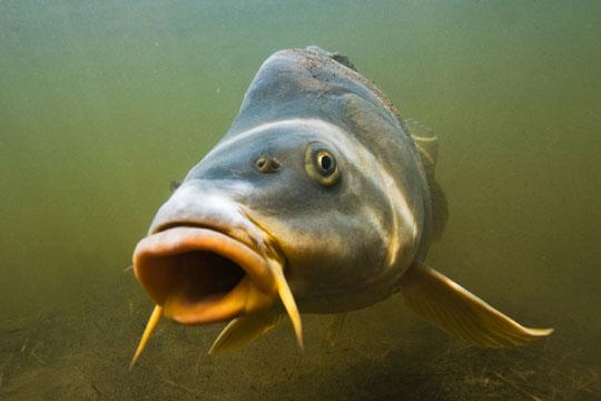 Recettes de poissons. La carpe en cuisine traditionnelle