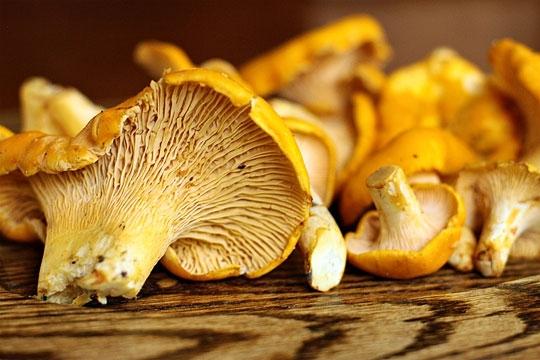 Champignons comestibles Haut Languedoc. Girolle chanterelle