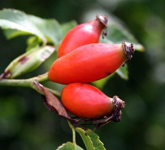 Recettes de santé par les plantes. Eglantier