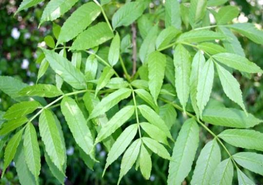 Recettes de santé par les plantes. Frêne