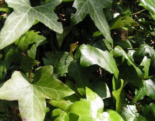 Recettes de santé par les plantes. Lierre grimpant