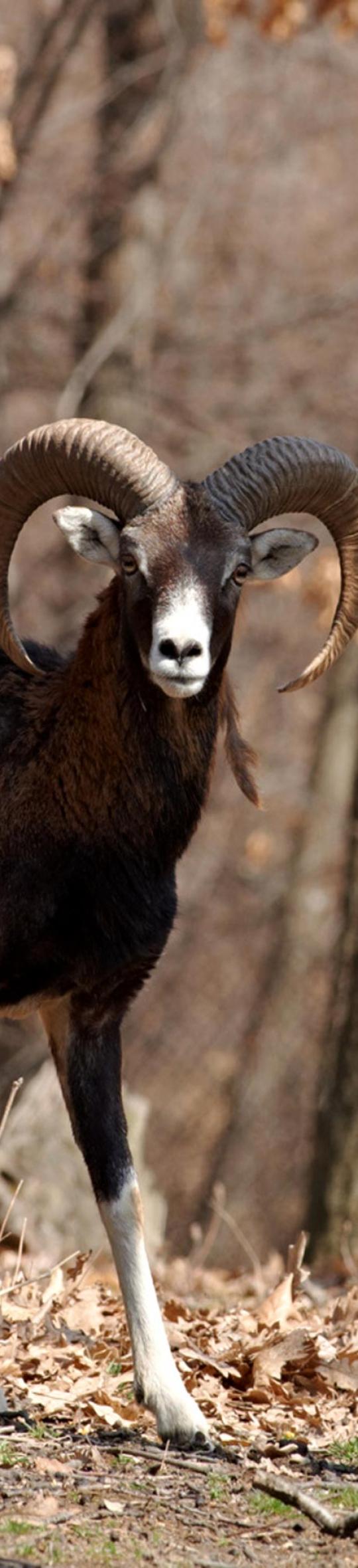 mouflon540x2000