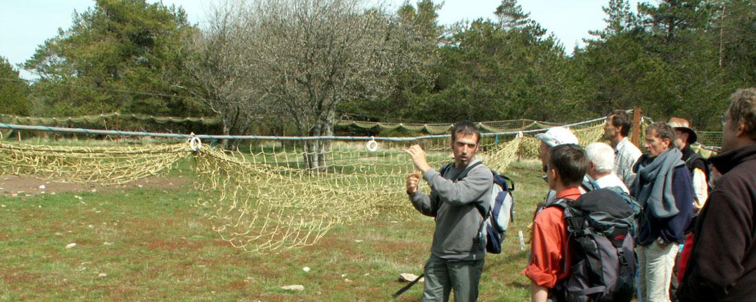 Mouflon en Haut Languedoc. Filet de capture