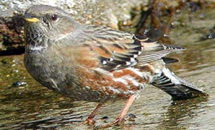 oiseauxaccenteuralpin