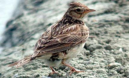 oiseauxalouettechamps