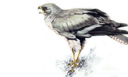 oiseauxbusardstmartin370x18