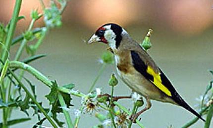 oiseauxchardonneretelegant3