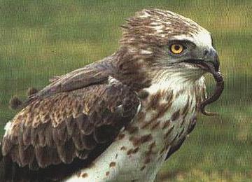 oiseauxcircaete360x260