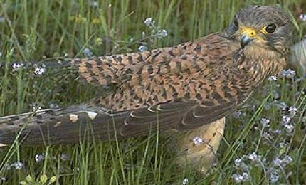 oiseauxfauconcrecerelle370x