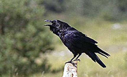 oiseauxgrandcorbeau370x180
