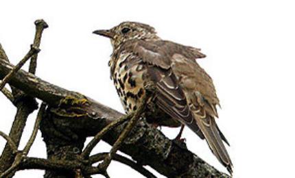 oiseauxgrivedraine370x180