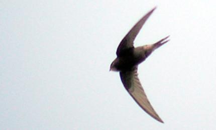 oiseauxmartinetnoir370x180