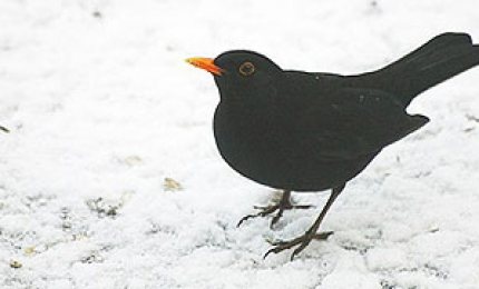 oiseauxmerlenoir370x180