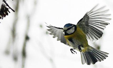 oiseauxmesangebleue370x180