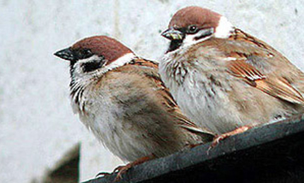 oiseauxmoineaufriquet370x18