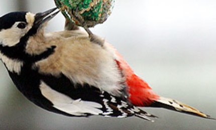oiseauxpicepeiche370x180