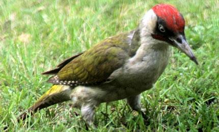 oiseauxpicvert