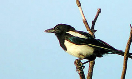oiseauxpiebavarde370x180