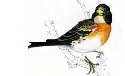 oiseauxpinsonnord370x180