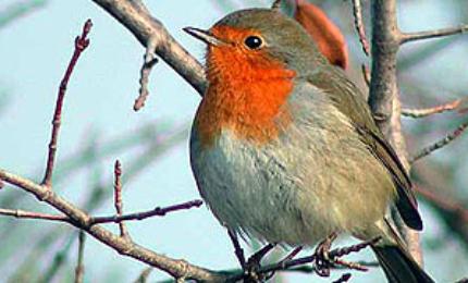 oiseauxrougegorgefamilier37