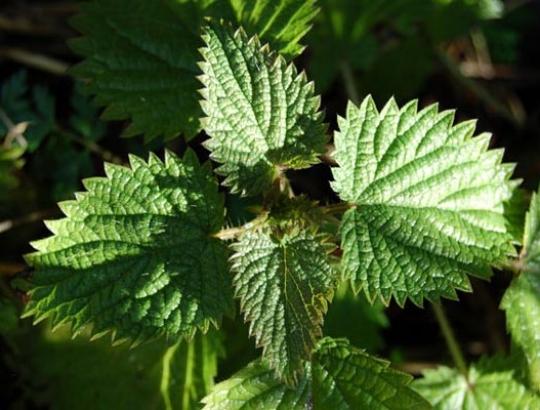Recettes de santé par les plantes. Ortie