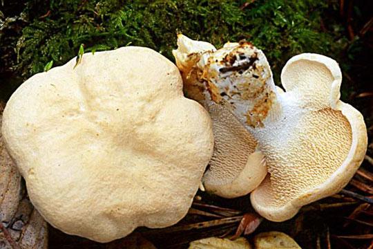 Champignons comestibles Haut Languedoc. Pied de mouton