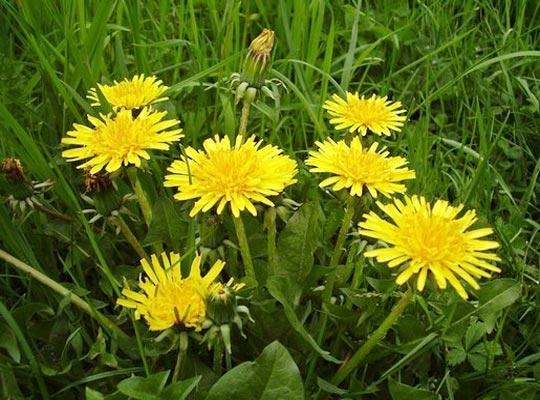 Recettes de santé par les plantes. Pissenlit