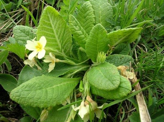 Recettes de santé par les plantes. Primevère