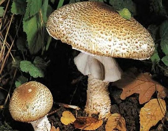 Champignons comestibles Haut Languedoc. Psaliotte des forêts